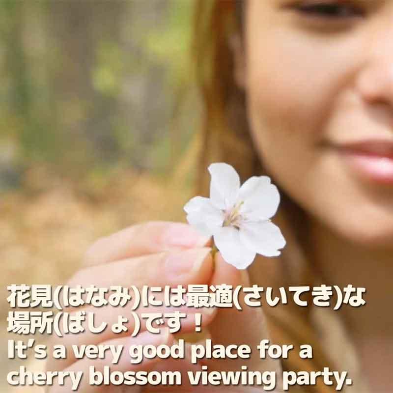 [Easy Japanese]ASHIGAKUBO Cherry Blossoms